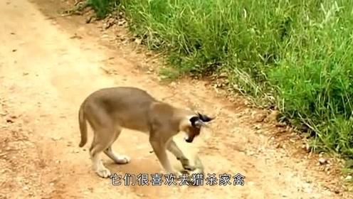 """世界上最凶猛的猫,号称是""""天山童姥""""连狼都被它咬死"""