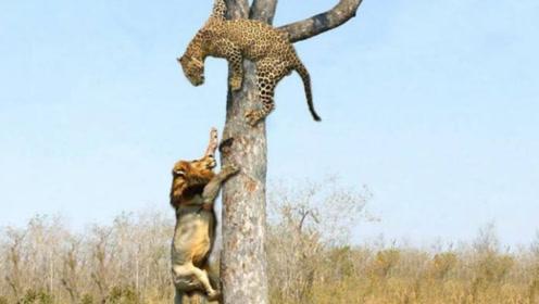 """花豹刚把猎物搬回树上,却被守在一旁的狮群围攻,直接被""""打劫"""""""