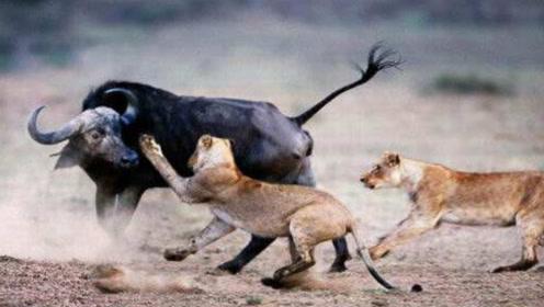 狮子捡到一头水牛尸体,吃了一口就赶紧逃跑,到底发生了什么?