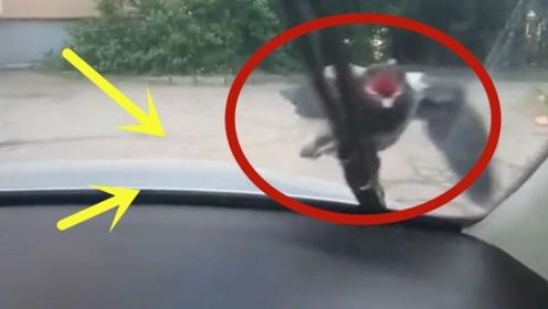 一只倔强的鸟,不论车主怎么赶就是不走,司机也笑了!