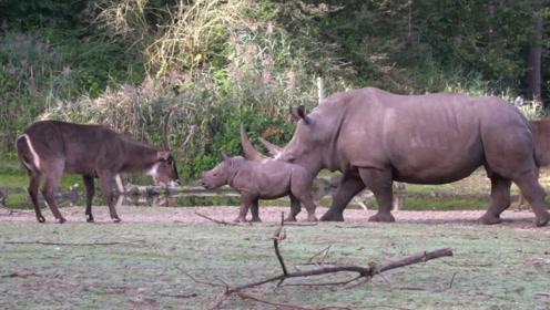 小犀牛仗着妈妈的保护,无端挑衅其他动物,仗势欺人的典范