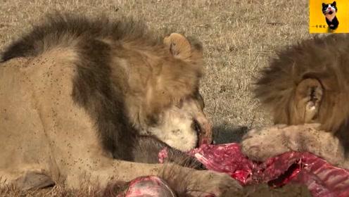2只雄狮的丰盛晚宴,胃口巨大,牛肉劲道十足很有嚼头