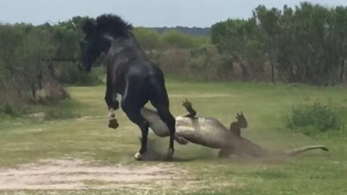 马的脾气到底有多恐怖?看看这条鳄鱼的下场,未免也太嚣张了吧!