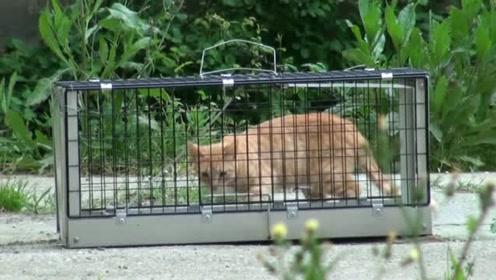可爱的流浪橘猫,被食物吸引!进入铁笼之后,有进无出