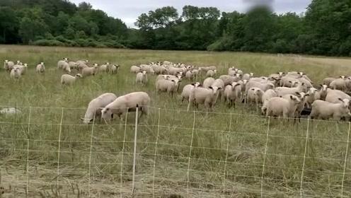 超有礼貌的羊!不仅没有社恐,还会回应人类~
