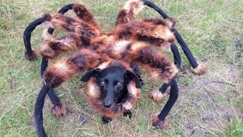 狗子扮成蜘蛛恶搞路人,女子被吓得狼狈逃跑,原谅我不厚道地笑了