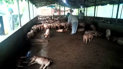国外农民是如何杀猪的?看着同类一个个倒下,不知小猪们是什么心情