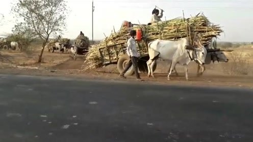 拉这么一大车的甘蔗,印度神牛都崩溃了!