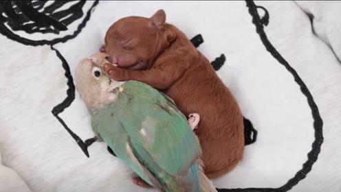鹦鹉把泰迪当成自己的孩子,两个月后画风突变,镜头记录搞笑画面