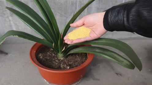 养花时丢一把小米,几天就会蹭蹭疯长,叶片油绿,爆满盆