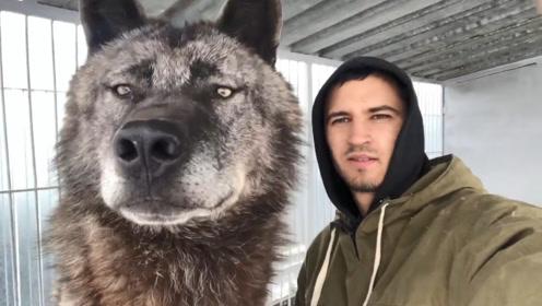 世界上最大的狼,却被俄罗斯当哈士奇养,这狼的眼神真像二哈