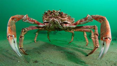 日本最爱的杀人蟹,体长4.2米,能活一百年,每年让无数猎人丧命!