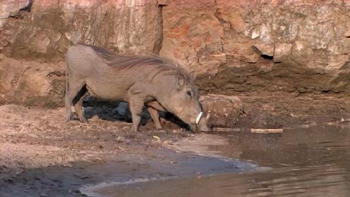 疣猪在河边喝水,鳄鱼突然窜出咬住它脑袋!疣猪一个举动自救成功