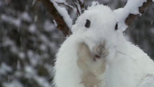 超越人类极限的速度:5秒跑完100米,北极兔了解一下?