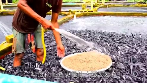 印度鲶鱼到底有多么可怕?把食物扔进去,下一秒整个河面沸腾了!