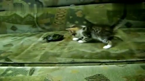 小猫看到小乌龟反应这么逗,哈哈