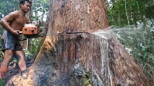 """伐木工锯树,发现大树""""流泪""""不止,难道这是颗神树?"""