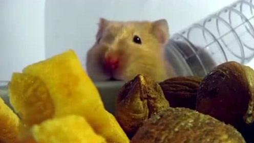 仓鼠饿了10天一口气能吃多少东西?小伙亲自测试,结果让人惊讶