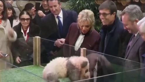 熊猫脾气有多大?连法国第一夫人都敢吓唬,国宝脾气大!