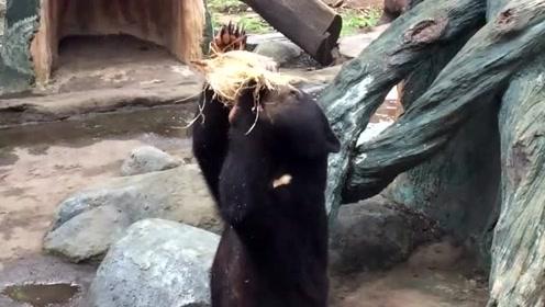 大黑熊徒手剥椰子,那仰头痛饮椰汁的样子像不像你们?哈哈!