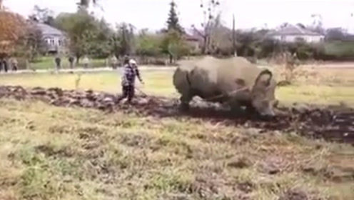 硬核老外家中没牛,直接用犀牛耕地,网友犀牛也是牛,没毛病啊