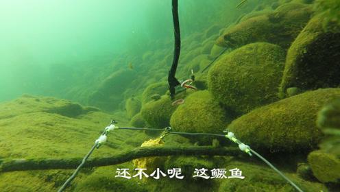 水下摄像机拍摄到的鳜鱼伏击画面,大鱼吃小鱼永远不变的定律