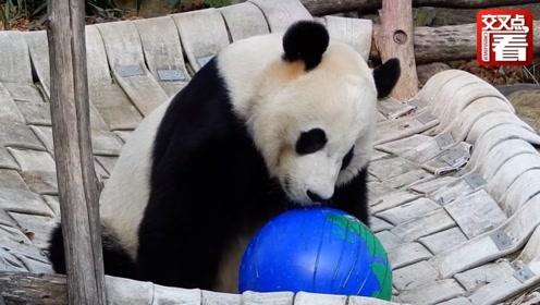 """旅美大熊猫回中国前举办欢送会 美国""""迷妹""""含泪告别万般不舍"""