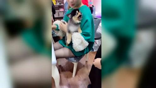 搞笑动物:好厉害的狗狗被人一抱立马闭嘴,狗仗人势的东西