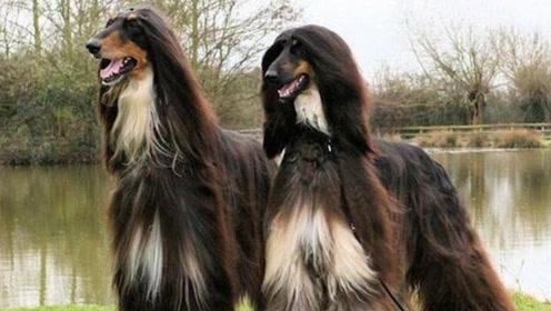 为何国内禁止养阿富汗犬,再有钱也不行?了解后就明白了