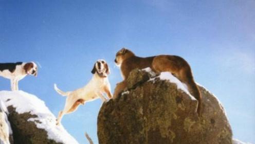 三只不要命的猎狗,在悬崖边捕猎一头美洲狮,下场让人唏嘘!