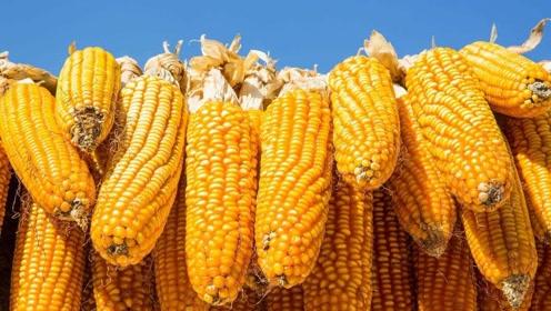 最近玉米的价格开始涨了,年底前能涨1.8元吗?
