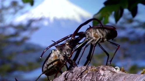 来自智利的两只雄性达尔文甲虫的生死对决!重型武器需自备!