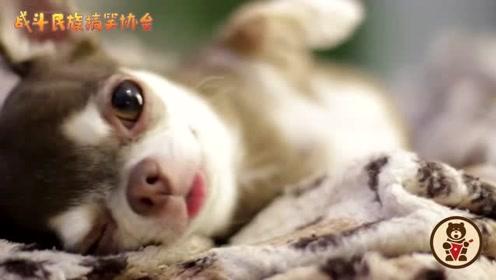 主人不理吉娃娃,看狗子的样子就知道它多伤心了