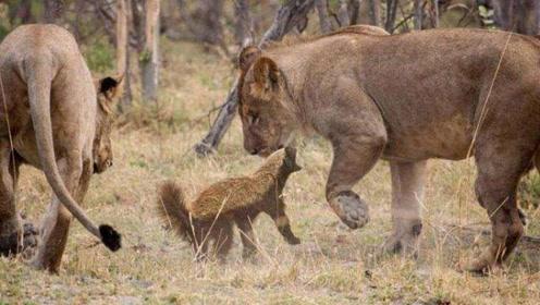 狮子啊,虽然非洲平头哥长得个头不大,但它不是你们能欺负的