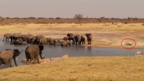 几十头大象下水洗澡,鳄鱼却在暗中观察,下一秒象群暴走