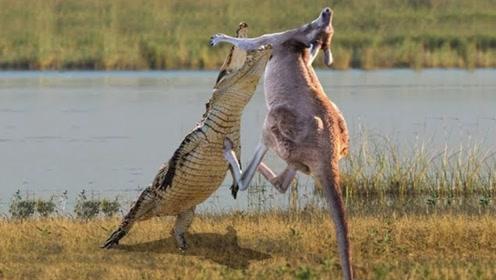 袋鼠在河边喝水,不料鳄鱼猛蹿而出,一口将袋鼠锁喉!