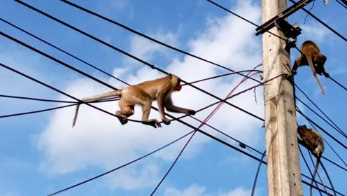 贪玩猴子爬上电线杆,玩得正开心,下一秒被电,瞬间变火猴