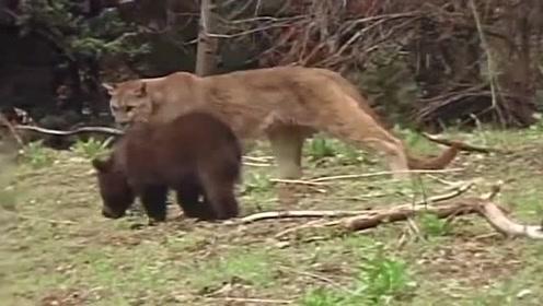 当黑熊遇到狮子,真的是个熊样啊,还是狮子威武霸气