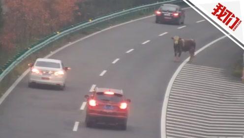 """上千斤""""牛魔王""""出逃狂奔5公里 冲上高速公路来回穿行被开枪击毙"""