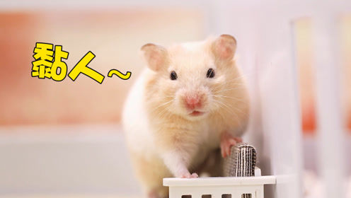 仓鼠的黏人程度让主人崩溃,连上厕所也要一起!网友:给我来一只