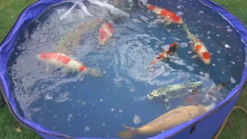 一群胖嘟嘟的大锦鲤,把它们养在后院的水池中,估计旁人看了都会心动