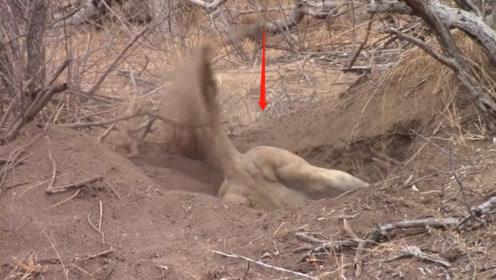 狮子发现个洞穴,险些被拉进去,最后挣扎半天拉出一个大家伙!