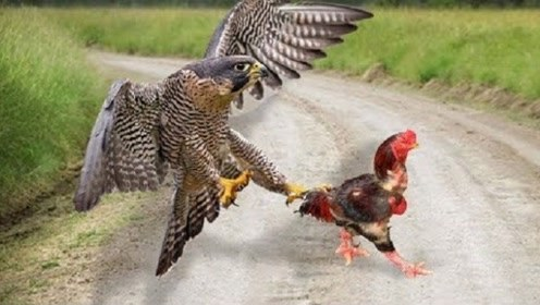 老鹰去偷鸡,结果被鸡强行留住,鸡:来了就不要走了嘛!