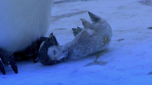 谁说动物间没有感情?小企鹅被冻成冰棍,企鹅妈妈在一旁伤心落泪