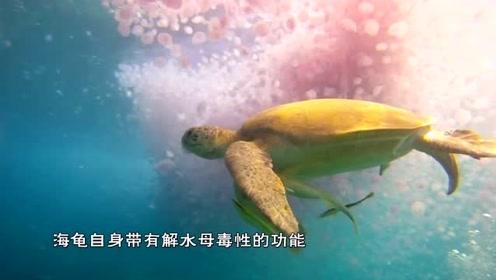 海龟吃水母有多神奇?海龟张口把水母吸进去,就像喝汤一样!