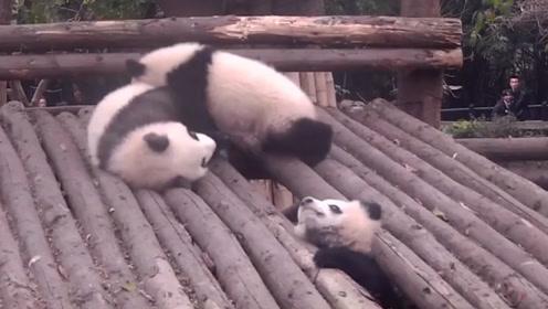 熊猫宝宝把头给卡住了,同伴伸出援手,画面让人捧腹大笑!
