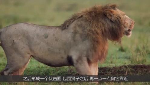 在草原是能给草原之王狮子带来生命危险的动物