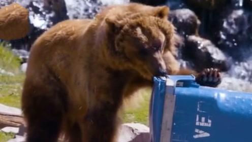 生活在俄罗斯的棕熊有多卑微?堵车时只能吹喇叭解闷