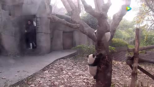 熊猫宝宝不跟伙伴玩偏要追着奶爸!急急下来给摔了!