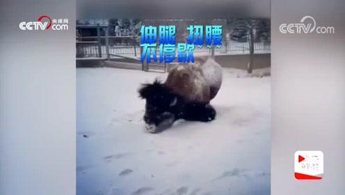 翻滚吧! 牛宝宝!肌肉猛牛雪地健身 变成一坨雪球